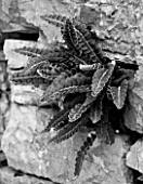 THE ROU ESTATE  CORFU: BLACK AND WHITE IMAGE OF FERN GROWING OUT OF ROCK FACE