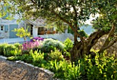 THE ROU ESTATE  CORFU: GRAVEL TERRACE WITH OLIVE TREE AND DROUGHT-TOLERANT PLANTING OF PHLOMIS FRUTICOSA  CISTUS AND ARTEMISIA