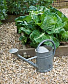 DESIGNER: CLARE MATTHEWS - ORGANIC VEGETABLE GARDEN/ POTAGER PROJECT  DEVON: METAL WATERING CAN BESIDE RAISED BED WITH SPRING CABBAGE FROSTIE