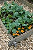 DESIGNER: CLARE MATTHEWS - ORGANIC VEGETABLE GARDEN/ POTAGER PROJECT  DEVON: CABBAGE KILAXY F1 UNDERPLANTED WITH BOLTARDY BEETROOTAND MARIGOLDS IN RAISED BED