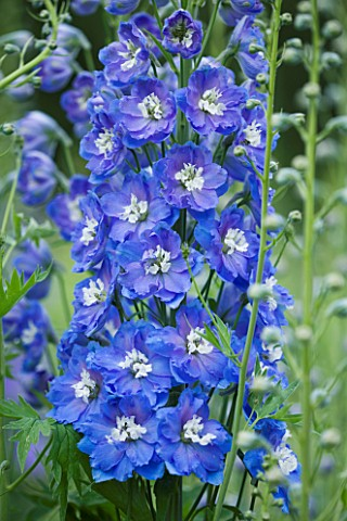 CLOSE_UP_PORTRAIT_OF_THE_BLUE_FLOWERS_OF_DELPHINIUM_LOCH_LEVEN__SPIRES__PERENNIAL