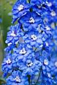 CLOSE UP PORTRAIT OF THE BLUE FLOWERS OF DELPHINIUM LANGDONS BLUE LAGOON - SPIRES  PERENNIAL