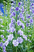CLOSE UP PORTRAIT OF THE BLUE FLOWERS OF DELPHINIUM TIDDLES - SPIRES  PERENNIAL