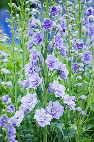 CLOSE_UP_PORTRAIT_OF_THE_BLUE_FLOWERS_OF_DELPHINIUM_TIDDLES__SPIRES__PERENNIAL