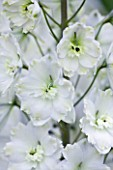 CLOSE UP PORTRAIT OF THE WHITE FLOWERS OF DELPHINIUM ALISA - SPIRES  PERENNIAL