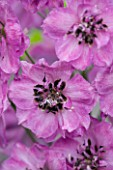 CLOSE UP PORTRAIT OF THE PURPLE FLOWERS OF DELPHINIUM ELATUM  JENNY AGUTTER - SPIRES  PERENNIAL