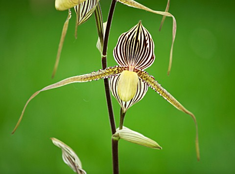 ORCHID__PAPHIOPEDILUM_ST_SWITHIN_WENDY