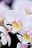 ORCHID - PHALAENOPSIS BROTHER LITTLE ARMAGLAD