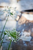 CORFU  GREECE: DESIGNER: DOMINIC SKINNER - MEDITTERANEAN STYLE GARDEN - WHITE AGAPANTHUS WITH TERRACOTTA CONTAINER BEHIND