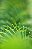 CLOSE UP OF SPIKES OF MONKEY PUZZLE TREE (ARAUCARIA ARAUCANA)