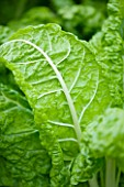 VEGETABLE: CLOSE UP OF LEAF AND WHITE STEM OF CHARD LUCULLUS
