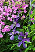 MEADOW FARM  WORCESTERSHIRE: SUMMER PLANT COMBINATION OF PURPLE CLEMATIS X DURANDII AND PINK PHLOX SANDRINGHAM