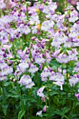 MEADOW FARM  WORCESTERSHIRE: LILAC FLOWERS OF PENSTEMON ALICE HINDLEY