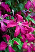 MEADOW FARM  WORCESTERSHIRE:  CLOSE UP OF CERISE PINK FLOWERS OF CLEMATIS ABUNDANCE