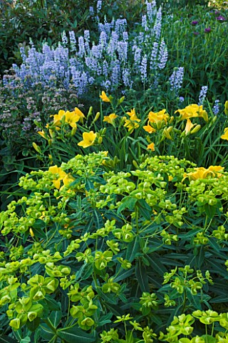 MEADOW_FARM__WORCESTERSHIRE_YELLOWBLUE_SUMMER_PLANT_COMBINATION_OF_GALEGA_HIS_MAJESTY__HEMEROCALLIS_