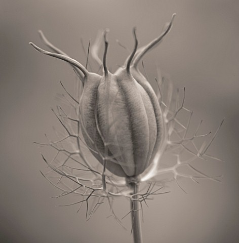 BLACK_AND_WHITE_TONED_IMAGE_OF_THE_SEED_HEAD_OF_NIGELLA_DAMASCENA__LOVEINAMIST