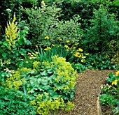 GREEN & YELLOW BORDER WITH GRAVEL PATH. ALCHEMILLA MOLLIS  CORNUS ELEGANTISSIMA  VERBASCUM. THE ANCHORAGE  KENT.