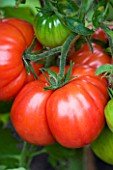 CLOSE UP OF LARGE BEEFSTEAK TOMATO AT THE RIVER CAFE GARDEN  LONDON