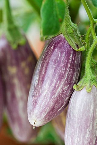 CLOSE_UP_OF_AUBERGINE_FAIRY_TALE_F1