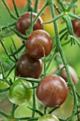 CLOSE UP OF TOMATO BLACK CHERRY. EDIBLE