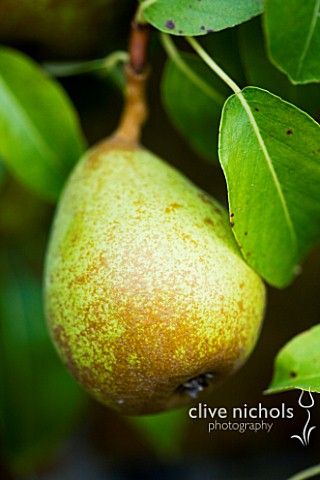 CLOSE_UP_OF_PEAR_LOUISE_BONNE_DE_JERSEY