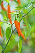 CLOSE UP OF CHILLI TOPAZ HOT F1. EDIBLE  VEGETABLE