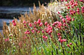 RHS GARDEN  WISLEY  SURREY - NATURAL MEADOW FLOWERING OF PINK SCHIZOSTYLIS COCCINEA SALOME