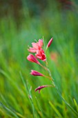 RHS GARDEN  WISLEY  SURREY - NATURAL MEADOW FLOWERING OF PINK SCHIZOSTYLIS COCCINEA CARDINAL