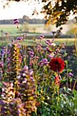 THE OLD RECTORY  HASELBECH  NORTHAMPTONSHIRE: BORDER IN AUTUMN WITH ACANTHUS  VERBENA BONARIENSIS AND DAHLIA CHAT NOIR