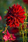 THE OLD RECTORY  HASELBECH  NORTHAMPTONSHIRE: DAHLIA CHAT NOIR