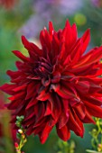 THE OLD RECTORY  HASELBECH  NORTHAMPTONSHIRE: DEEP RED FLOWERS OF DAHLIA CHAT NOIR