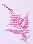 CLOSE UP OF PINK FLOWER OF ASTILBE