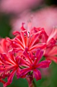 CLOSE UP OF PINK FLOWERS OF NERINE HAMLET