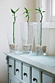 DESIGNER CLARE MATTHEWS: HOUSE PLANT - GLASS CONTAINERS ON SIDEBOARD PLANTED WITH LUCKY BAMBOO ( DRACAENA SANDERIANA ) GROWN HYDROPONICALLY WITHOUT WATER