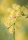 DOMAINE DU RAYOL  FRANCE: CLOSE UP OF YELLOW FLOWERS OF MIMOSA - ACACIA ITEAPHYLLA (WILLOW LEAFED ACACIA)
