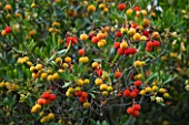 DOMAINE DU RAYOL  FRANCE: FRUITS OF ARBUTUS UNEDO - THE STRAWBERRY TREE