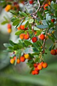 DOMAINE DU RAYOL  FRANCE: CLOSE UP OF THE FRUITS OF ARBUTUS UNEDO - THE STRAWBERRY TREE