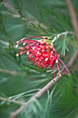 DOMAINE DU RAYOL  FRANCE: CLOSE UP OF THE RED FLOWER OF GREVILLEA WIARA GIN