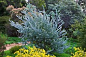 DOMAINE DU RAYOL  FRANCE: THE AUSTRALIAN GARDEN WITH YELLOW FLOWERS OF ACACIA CARDIOPHYLLA AND BEHIND THE SILVER BLUE FOLIAGE OF ACACIA CONVENYI