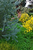 DOMAINE DU RAYOL  FRANCE: THE AUSTRALIAN GARDEN WITH YELLOW FLOWERS OF ACACIA CARDIOPHYLLA AND THE SILVER BLUE FOLIAGE OF ACACIA CONVENYI - IN THE BACKGROUND IS EUCALYPTUS GLOBULUS