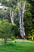 DOMAINE DU RAYOL  FRANCE: EUCALYPTUS TREE IN THE WOODLAND