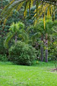 DOMAINE DU RAYOL  FRANCE: SYAGRUS ROMANZOFFIANA - QUEEN PALMS OR COCOS PALMS