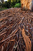 DOMAINE DU RAYOL  FRANCE: BEAUTIFUL BARK OF EUCALYPTUS GLOBULUS LAID OUT ON THE FLOOR