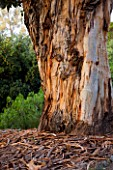DOMAINE DU RAYOL  FRANCE: BEAUTIFUL BARK AND TRUNK OF EUCALYPTUS GLOBULUS