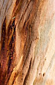 DOMAINE DU RAYOL  FRANCE: BEAUTIFUL BARK OF A EUCALYPTUS