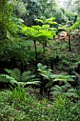 DOMAINE DU RAYOL  FRANCE: THE NEW ZEALAND GARDEN WITH CYATHEA COOPERI (SCALY TREE FERN  LACY TREE FERN) AND DICKSONIA ANTARCTICA (SOFT TREE FERN)