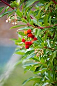 DESIGNER: JEAN-LAURENT FELIZIA  FRANCE: THE RED FRUITS OF ARBUTUS X THURETIANA BESIDE THE POOL