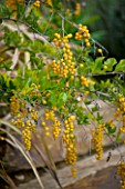 DESIGNER: JEAN-LAURENT FELIZIA  FRANCE: YELLOW BERRIES OF DURANTA PLUMERII