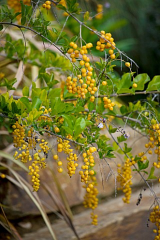 DESIGNER_JEANLAURENT_FELIZIA__FRANCE_YELLOW_BERRIES_OF_DURANTA_PLUMERII