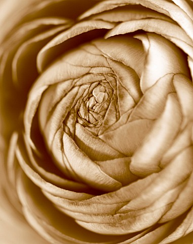 BLACK_AND_WHITE_SEPIA_TONED_IMAGE_OF_THE_CENTRE_OF_A_RANUNCULUS_PATTERN